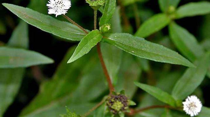 Cây cỏ mực (nhọ nồi) giúp cầm máu, điều trị di mộng tinh và rong kinh