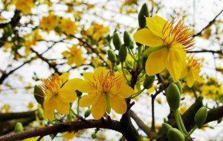 Hoa mai (mai vàng miền Nam)