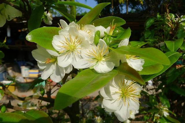 Hoa mai trắng Miến Điện (ở Cần Thơ)