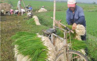 Nông dân thu hoạch kiệu