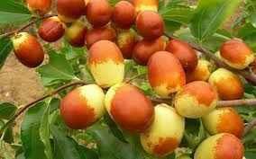 Táo Tàu tươi Ziziphus jujuba được làm thành táo đen, táo đỏ chữa bệnh
