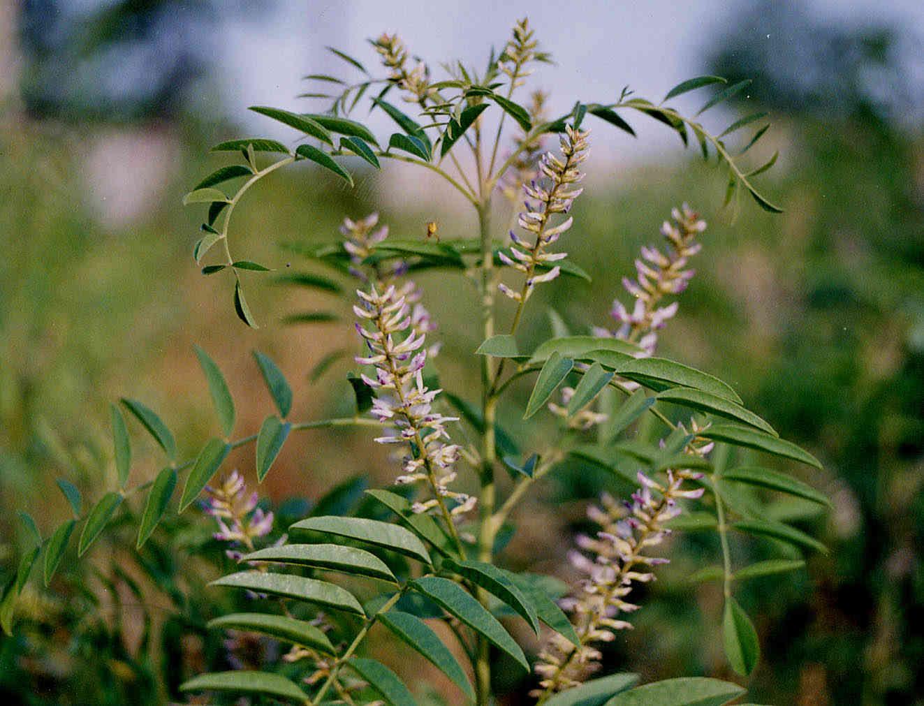 Cây cam thảo Bắc (Glycyrrhiza uralensis)