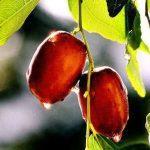 Quả hồng táo còn tươi táo Tàu Ziziphus jujuba