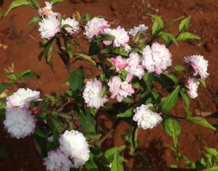 Hoa nhất chi mai điểm hồng khi ra nắng