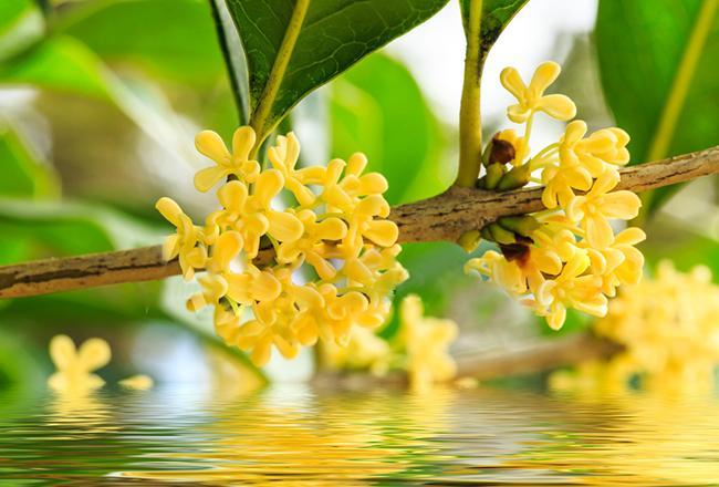 Hoa mộc hương