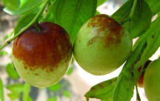 Quả táo Tàu tươi táo Bắc táo đỏ táo Trung Quốc