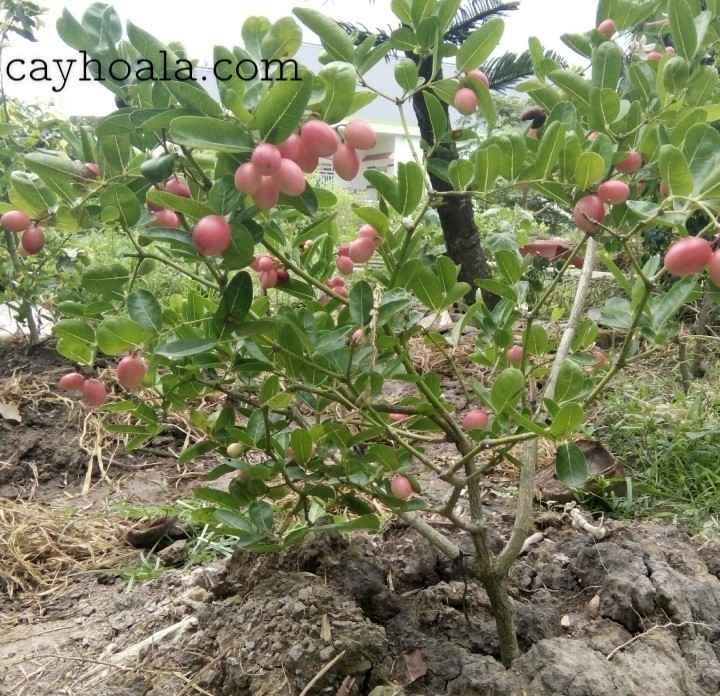 Cây si rô là cây gì