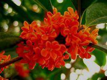 Quế hoa có hoa màu đỏ cam