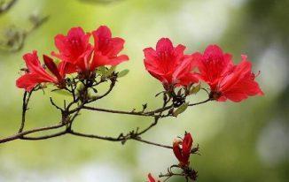 Hoa mơ màu đỏ Prunus mume