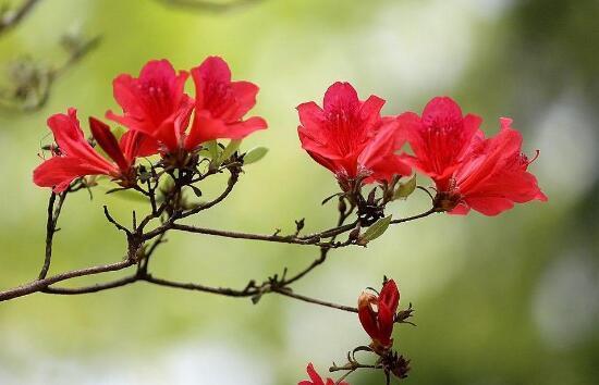 Hoa mơ màu đỏ