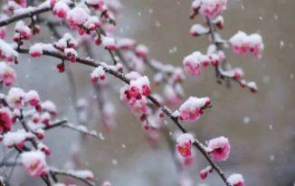 Hoa mơ trong tuyết
