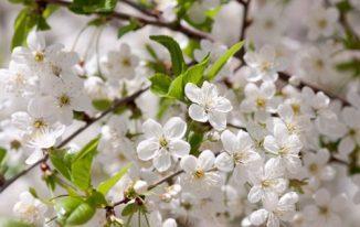 Hoa mơ trắng (lục ngạc mai)