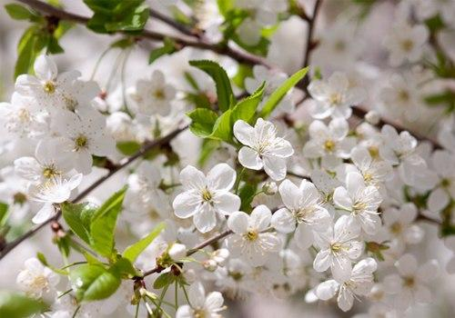 Hoa mơ (mai hoa), các món ăn và bài thuốc chữa bệnh theo y học cổ truyền