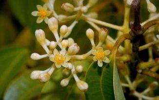 Hoa quế khâu (Cinnamomum verum)