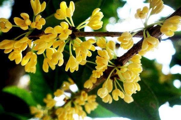 Hoa mộc hương (quế hoa)