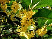 Mộc hương hoa vàng