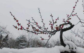 Cây mơ trong tuyết