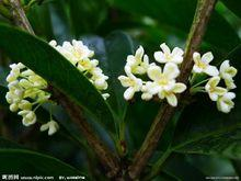 Mộc hương có hoa màu trắng