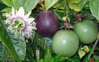 Hình dáng quả chanh leo (chanh dây) Passiflora edulis