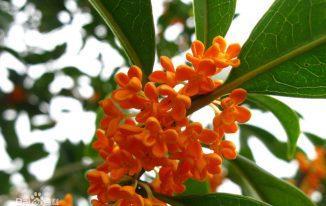 Hoa quế (mộc hoa) hoa mộc