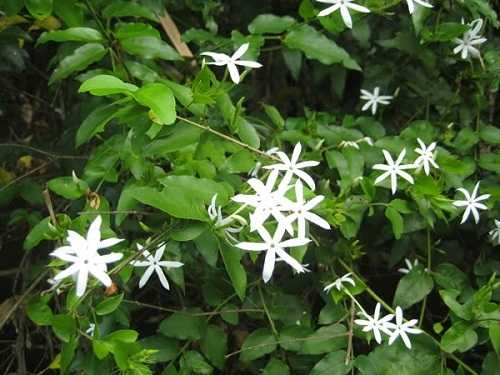 Dây chè vằng và hoa chè vằng (màu trắng) Jasminum subtriplinerve