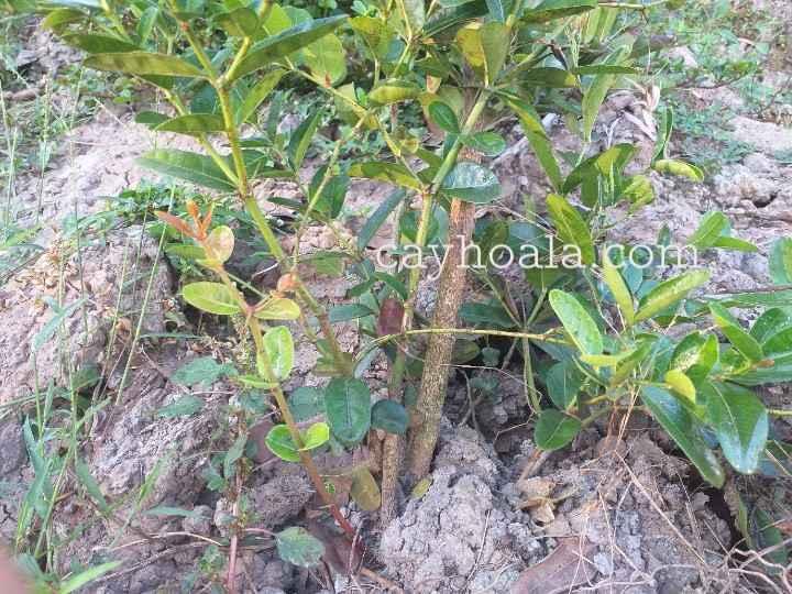 Cây si rô cách nhân giống chiết nhánh ươm hạt