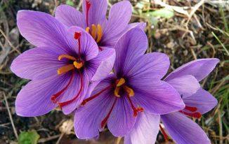 Nhụy hoa nghệ tây (Crocus sativus)