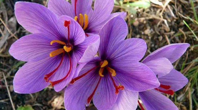 Nhụy hoa nghệ tây có thực sự tốt cho người dùng hiện nay? (nhị hay nhụy?)
