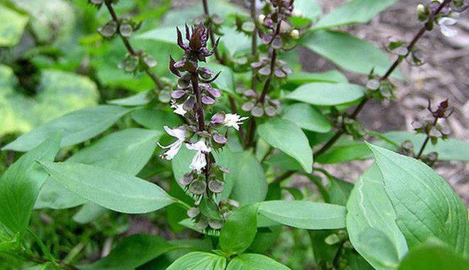 Hạt và lá rau húng quế (húng giổi, rau quế) chữa những bệnh gì?