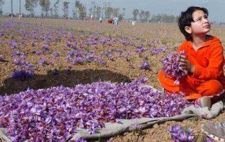 Cách trồng nhụy hoa nghệ tây (Nhụy hoa nghệ tây (Crocus sativus))
