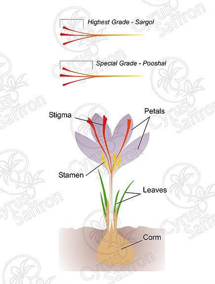 Hoa nghệ tây Crocus sativus