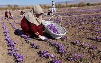 Hoa nghệ tây được trồng như thế nào