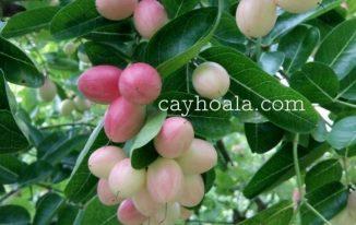 Cây si rô là cây gì? Công dụng và cách nhân giống cây si rô (Carissa carandas)