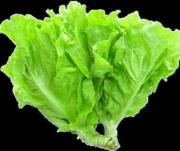 Rau diếp (xà lách lụa), một trong những loại phổ biến hiện nay
