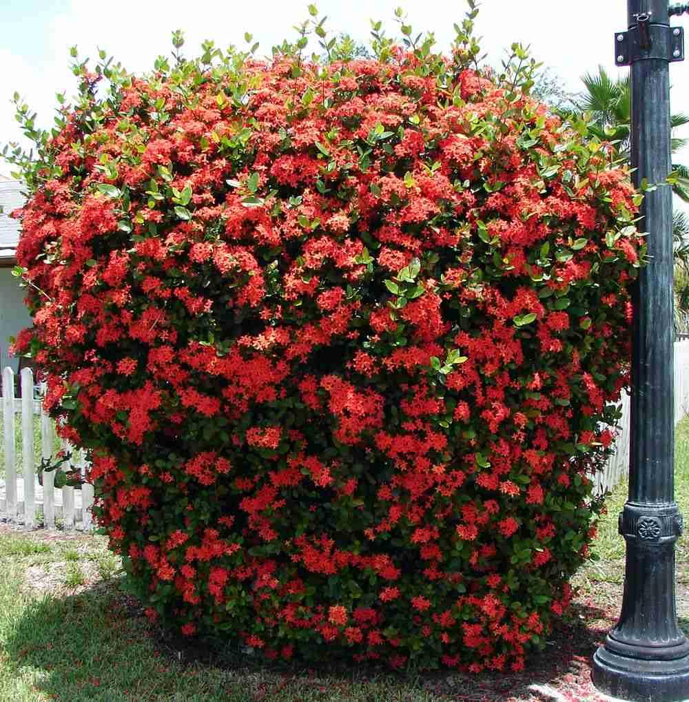 Bông trang đỏ (cây mẫu đơn đỏ) Ixora coccinea