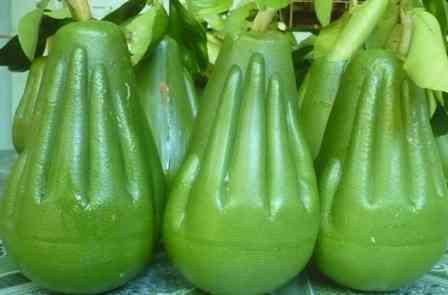 Bưởi lễ dâng Phật (bưởi ép khuôn từ bưởi Năm Roi) Citrus maxima