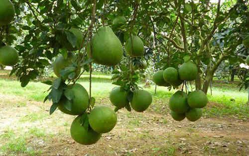 Quả bưởi (Citrus maxima fruit) và lá bưởi