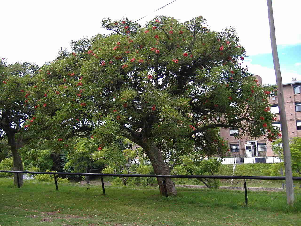 Vông mồng gà osaka đỏ là cây gì