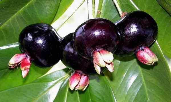 Cherry Brazil (quả anh đào)