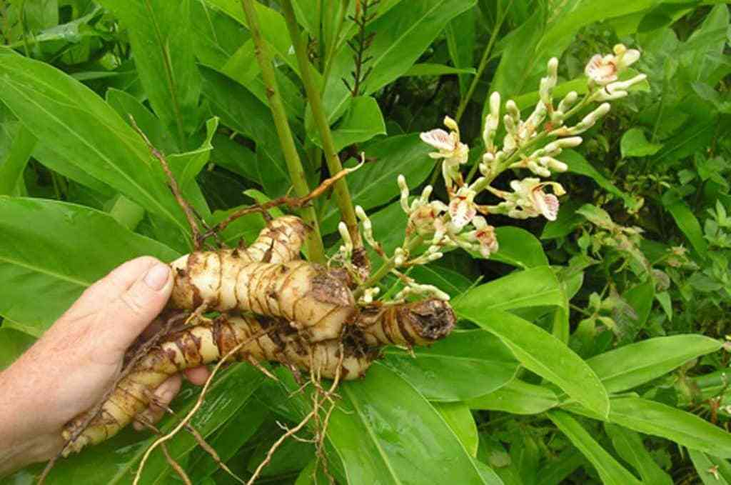 Củ riềng (Alpinia officinarum)
