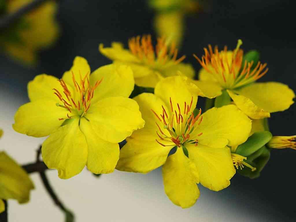 Hoa mai vàng miền Nam (Ochna integerrima)
