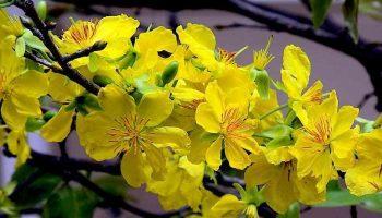 Hoa mai vàng miền Nam
