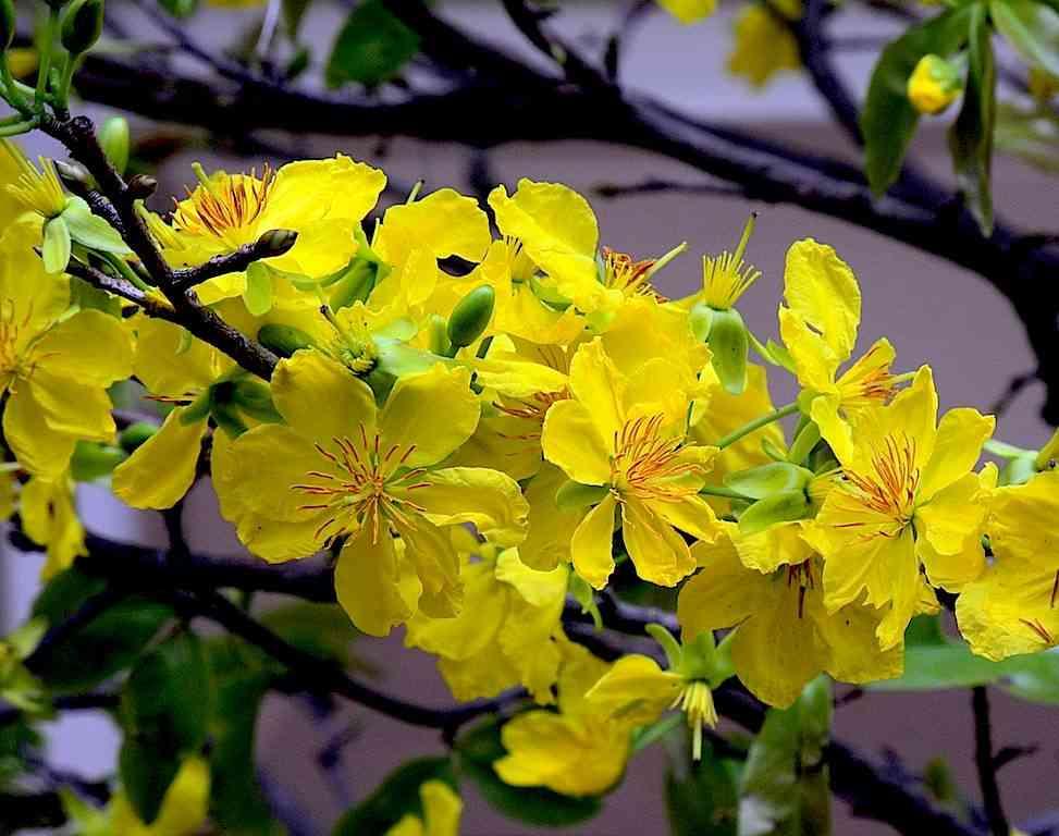 Cây mai vàng miền Nam có thể dùng chữa bệnh không? (Ochna integerrima)