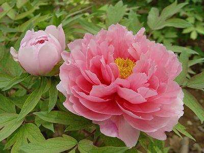 Cây mẫu đơn Trung Quốc (vị thuốc mẫu đơn bì) Paeonia suffruticosa