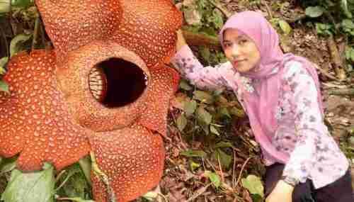 Những loài hoa lớn nhất, nhỏ nhất và chậm ra hoa nhất trên thế giới