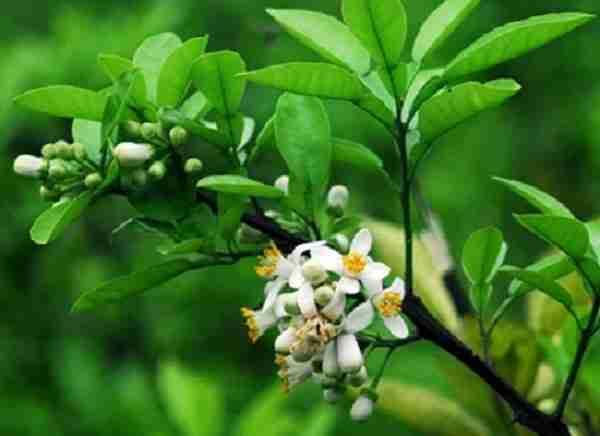 Hoa và lá bưởi