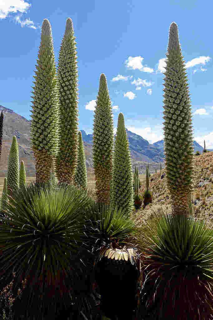 Loài cây ra hoa chậm nhất thế giới (Puya Raimondii)