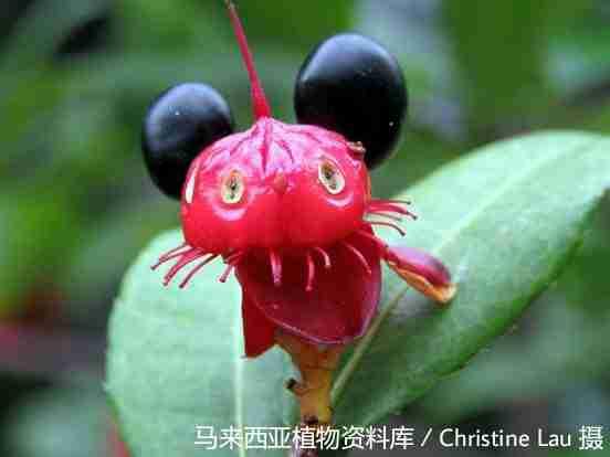 Hai quả mai vàng chín đen gợi người ta liên tưởng đến chuột Mickey (Ochna integerrima)