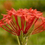 Mẫu đơn đỏ (ở miền Nam gọi là bông trang đỏ)