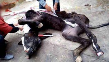 Một con lừa đang bị lột da để điều chế A giao